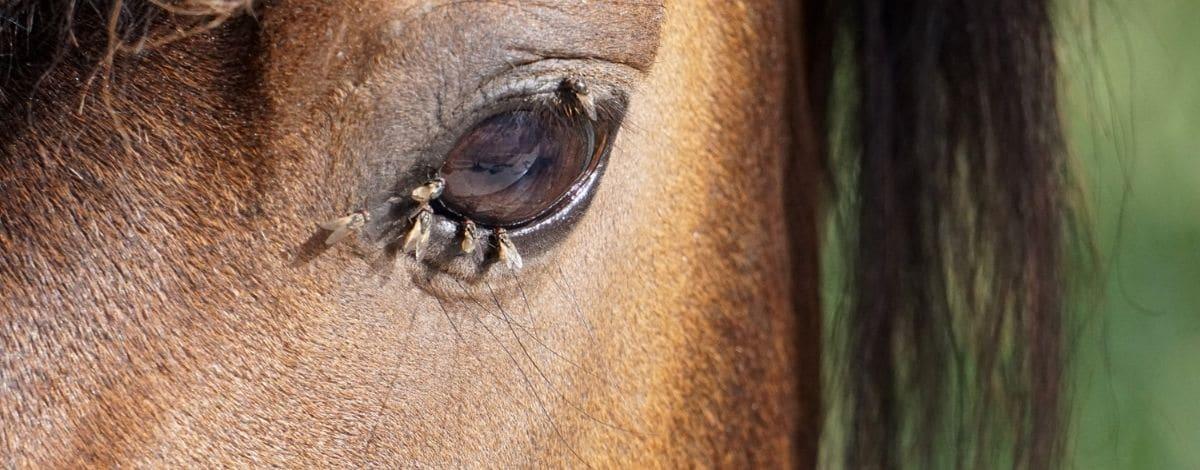 Pferd mit Fliegen am Auge