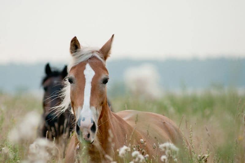 Pferde in hohem Gras